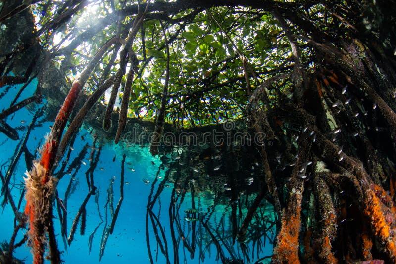 Esponjas em raizes de suporte dos manguezais em Raja Ampat imagem de stock royalty free