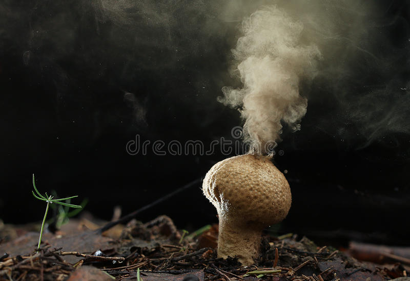 Esporas del hongo del Puffball fotos de archivo