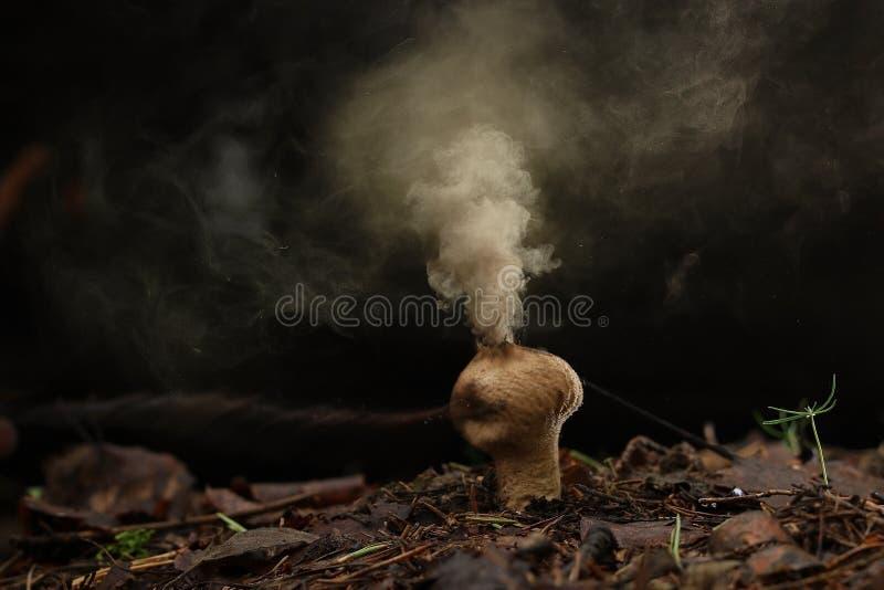 Esporas del hongo del Puffball foto de archivo libre de regalías
