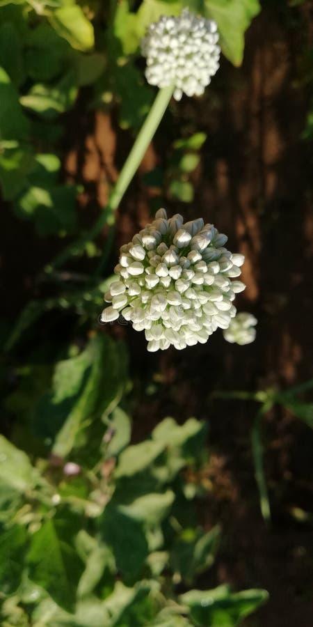 Esporos de flores da cebola imagem de stock
