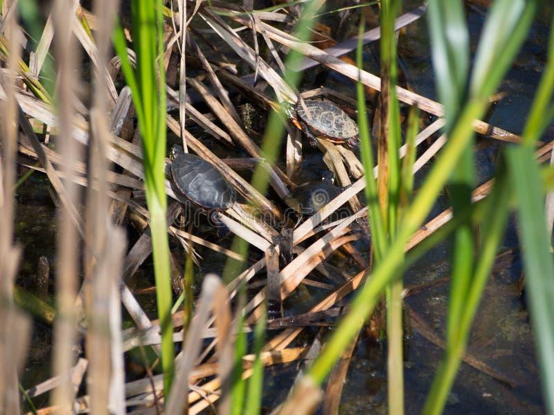 Esporre al sole le tartarughe fotografie stock