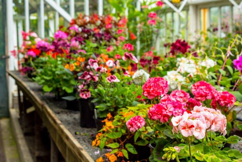 Esposizione dei fiori del geranio nella serra fotografia stock