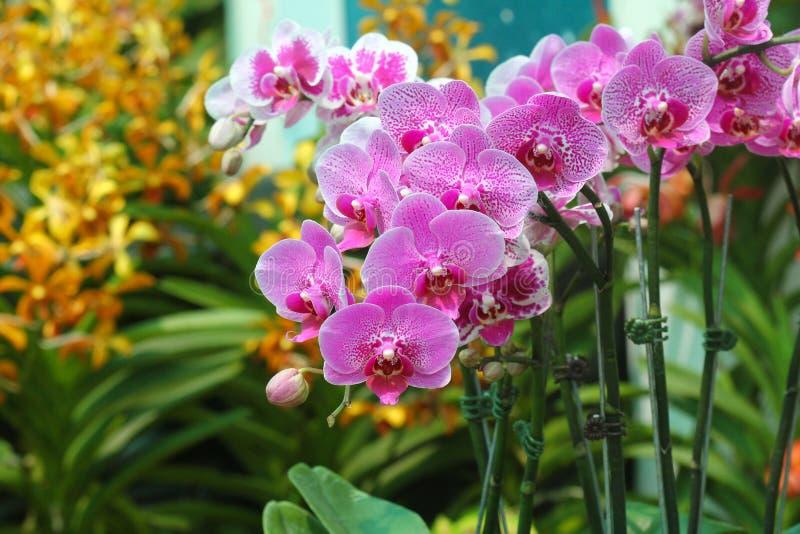 Esposizione dei fiori dell'orchidea immagine stock