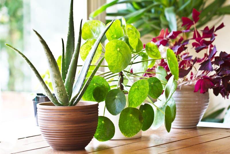 Esposizione delle piante da appartamento Varie piante della casa o piante d'appartamento immagine stock
