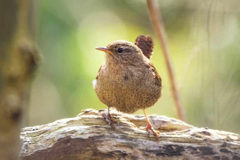 Esposizione euroasiatica delle troglodite delle troglodite dell'uccello dello scricciolo, cantare fotografia stock