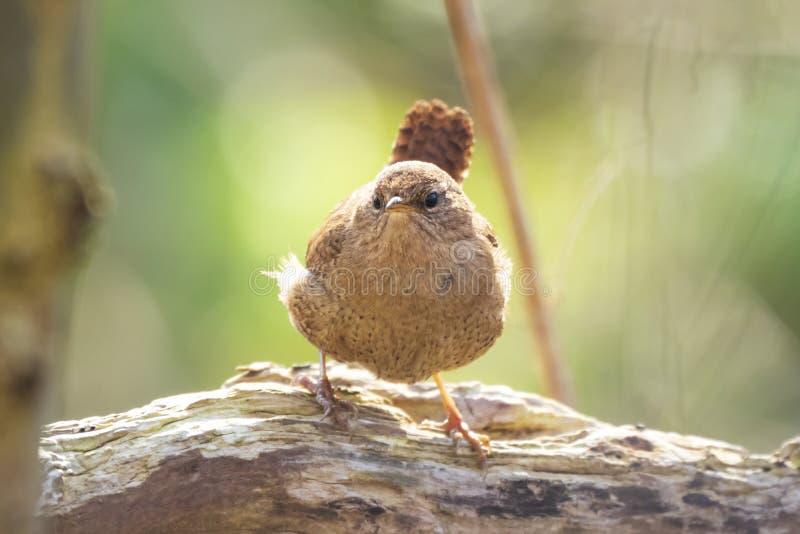 Esposizione euroasiatica delle troglodite delle troglodite dell'uccello dello scricciolo, cantare fotografie stock libere da diritti