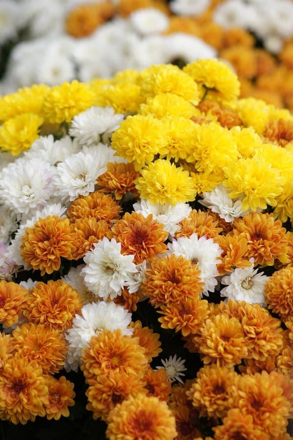 Esposizione variopinta dei fiori del crisantemo fotografia stock libera da diritti
