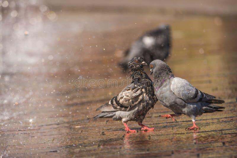 Esposizioni e puntoni maschii del piccione dopo una femmina nella città, con una fontana nei precedenti fotografie stock libere da diritti
