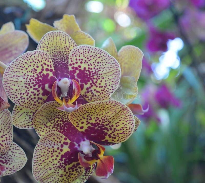 Espray hermoso de las flores de la orquídea fotos de archivo
