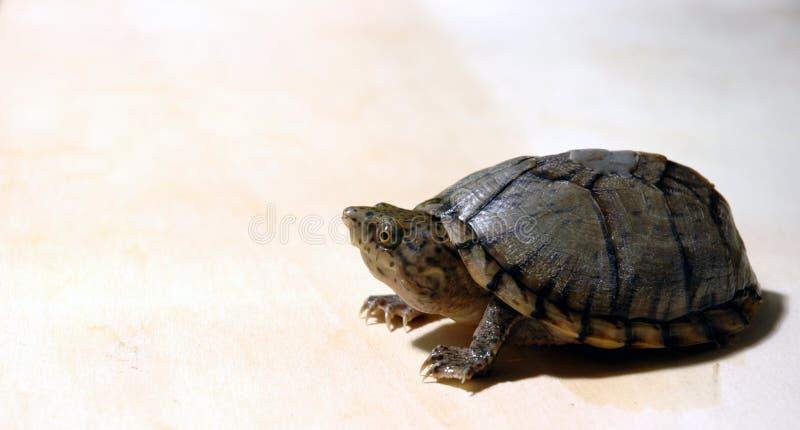 Espreitando a tartaruga imagem de stock