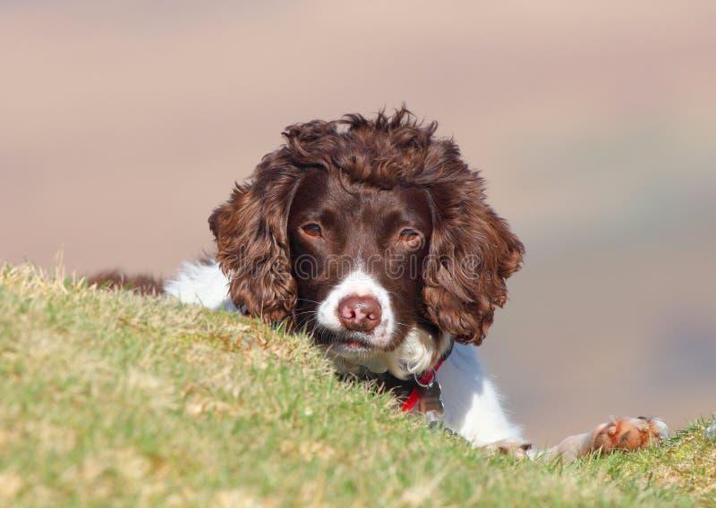 Espreitar bonito do cão fotos de stock royalty free