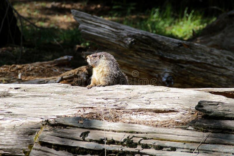 Espreitar de Groundhog supera de um parque nacional de sequoia do início de uma sessão, Califórnia fotografia de stock royalty free