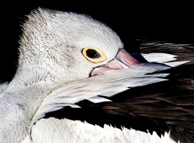 Espreitar do pelicano fotos de stock