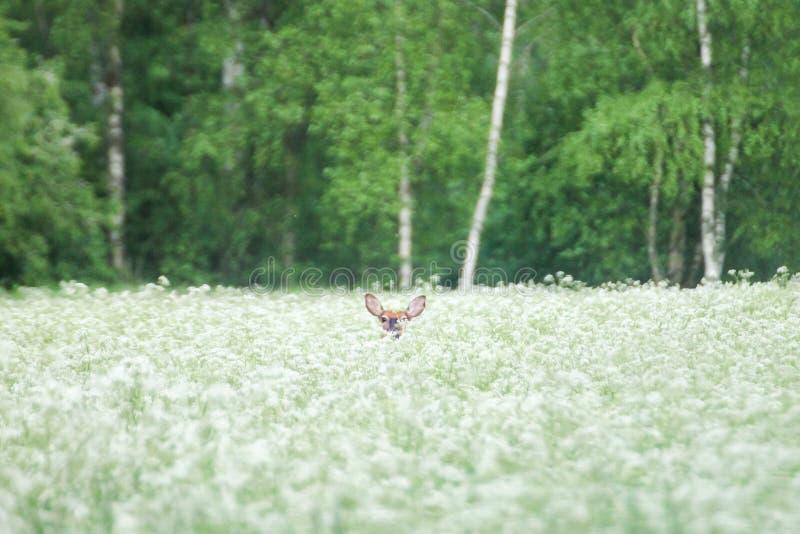 Espreitar pequeno dos cervos fotos de stock royalty free
