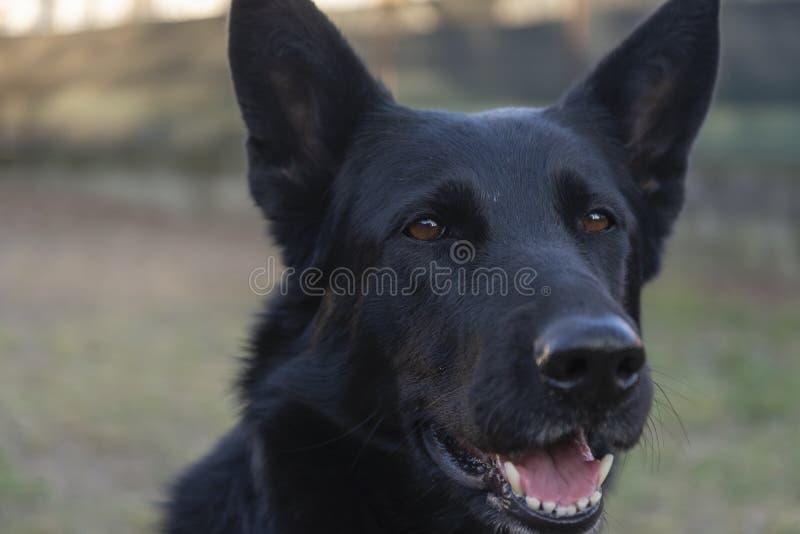 Espressione divertente del cane da pastore tedesco nero fotografie stock libere da diritti