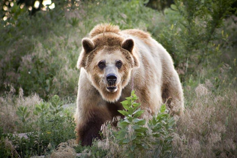 Espressione seria dell'orso grigio immagini stock libere da diritti