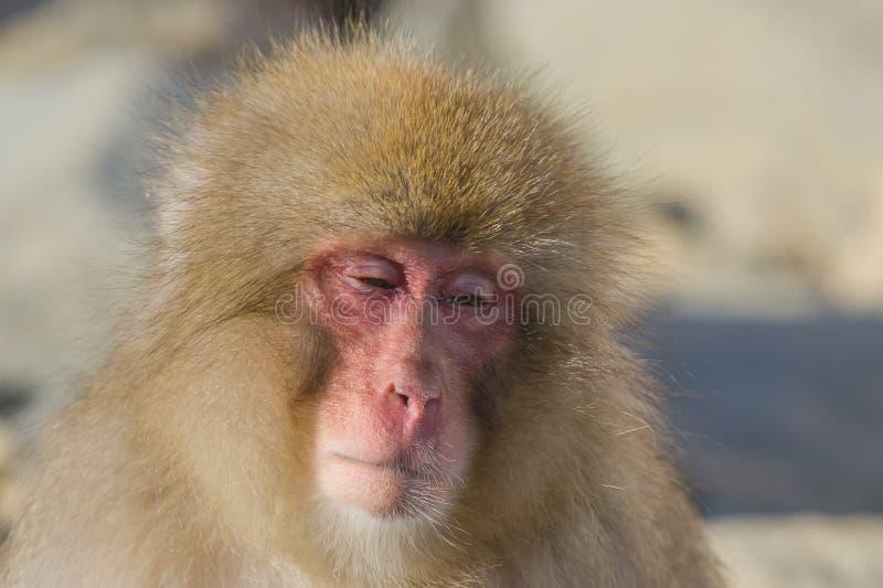Espressioni della scimmia della neve: Andar alla derivae, profilo immagine stock libera da diritti
