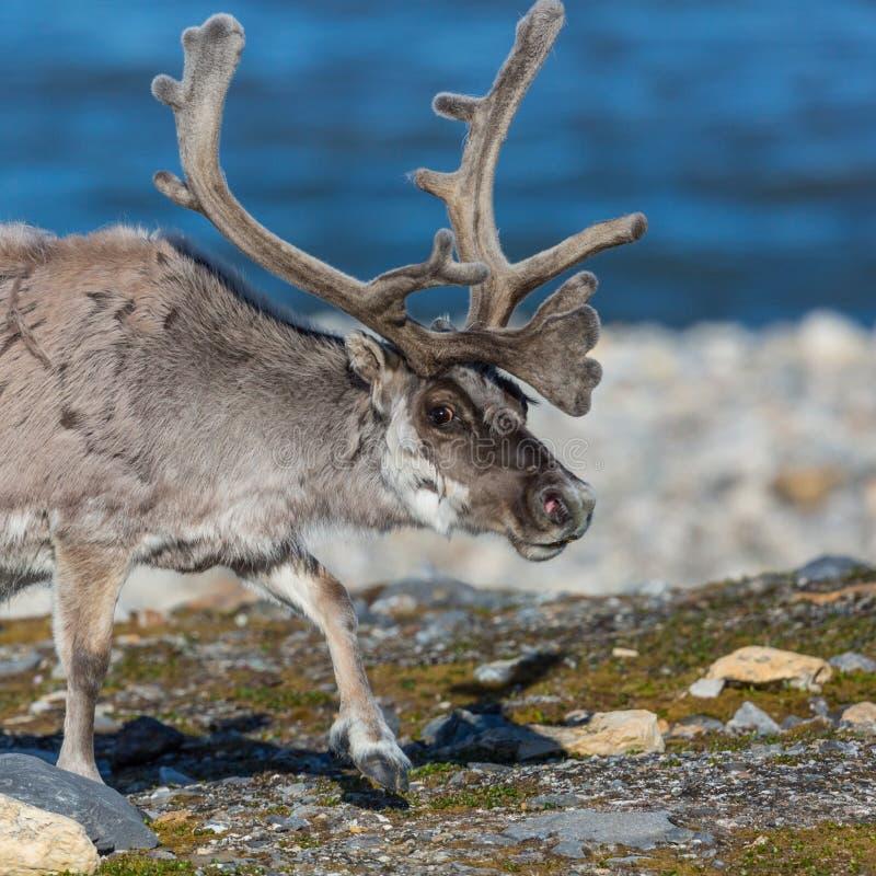 Esprit de platyrhynchus de tarandus de rangifer de renne du Svalbard de portrait photo libre de droits