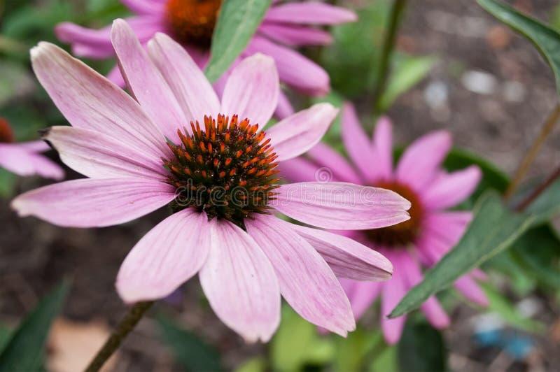 Esprit rose de Cheyenne d'echinacea en parc urbain photographie stock libre de droits