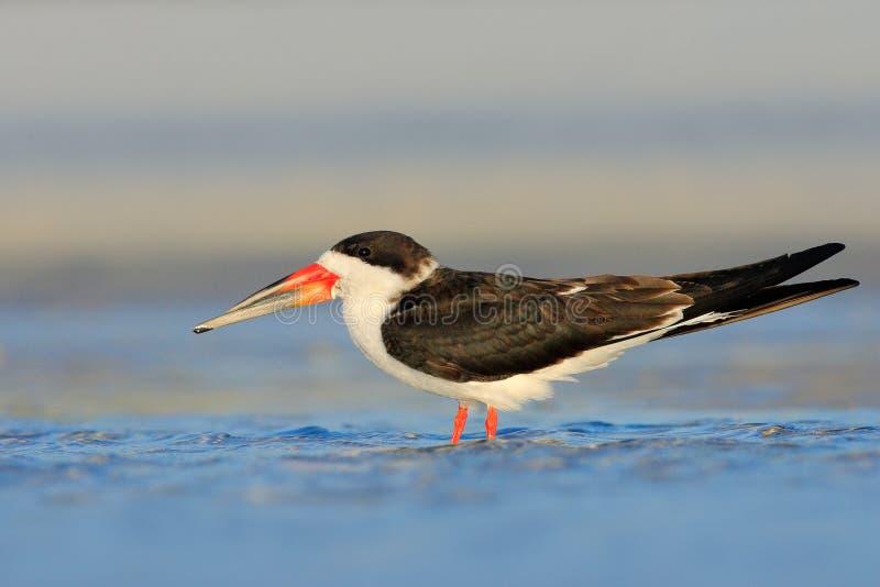 Espumadeira preta, Rynchops niger, andorinha-do-mar bonita na água Espumadeira preta na costa de Florida, EUA Pássaro no habita d imagens de stock