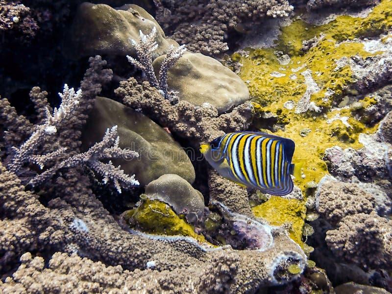 A esquatina régia listrou brilhantemente peixes tropicais sobre o recife de corais subaquático foto de stock