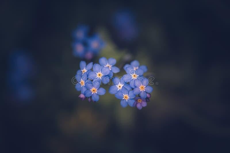 Esque?a-me n?o flor/alpestris do Myosotis imagem de stock royalty free