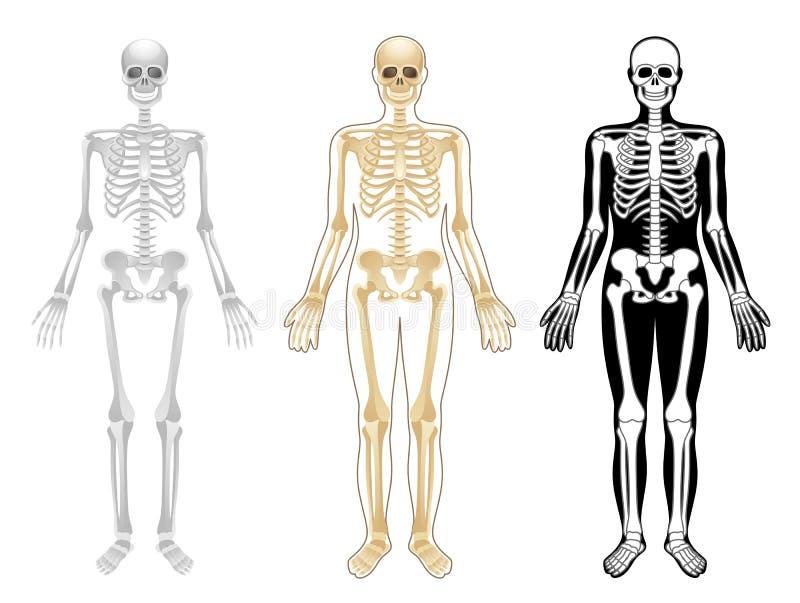 Esqueleto libre illustration