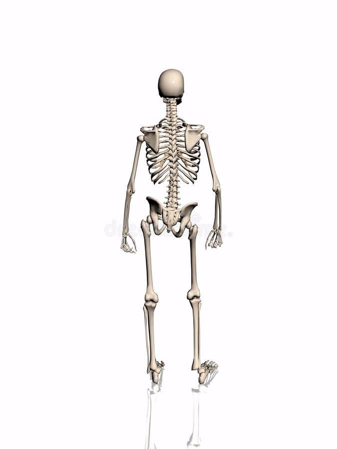 Download Esqueleto. stock de ilustración. Ilustración de huesos - 192988