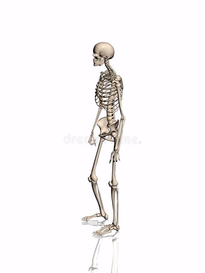 Esqueleto. ilustração stock