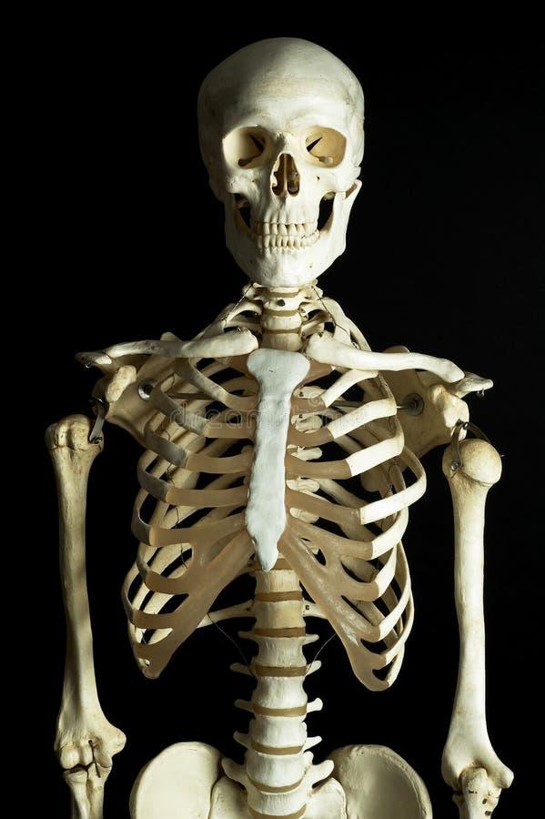 Esqueleto 3 Fotos de archivo