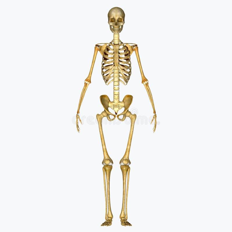 Esqueleto imagen de archivo. Imagen de después, pectoral - 43014241