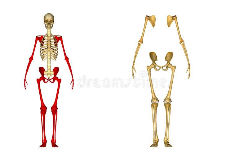 esqueleto ilustração royalty free