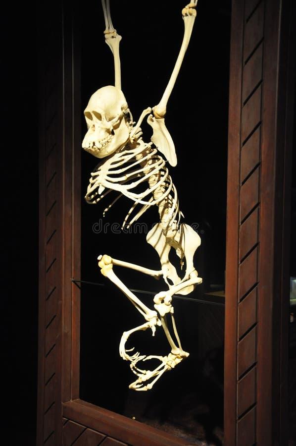 esqueleto imágenes de archivo libres de regalías