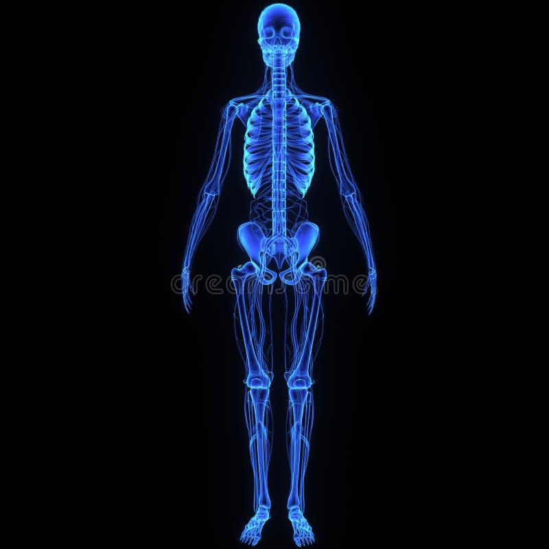 Esqueleto com sistema circulatório ilustração royalty free
