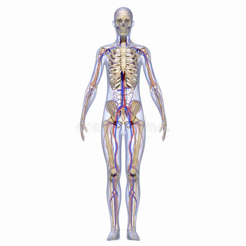 Esqueleto com sistema nervoso ilustração stock