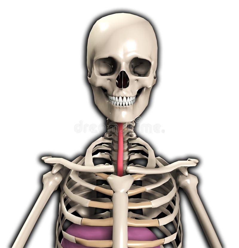 Esqueleto Com Tubulação Do Vento Foto de Stock Royalty Free