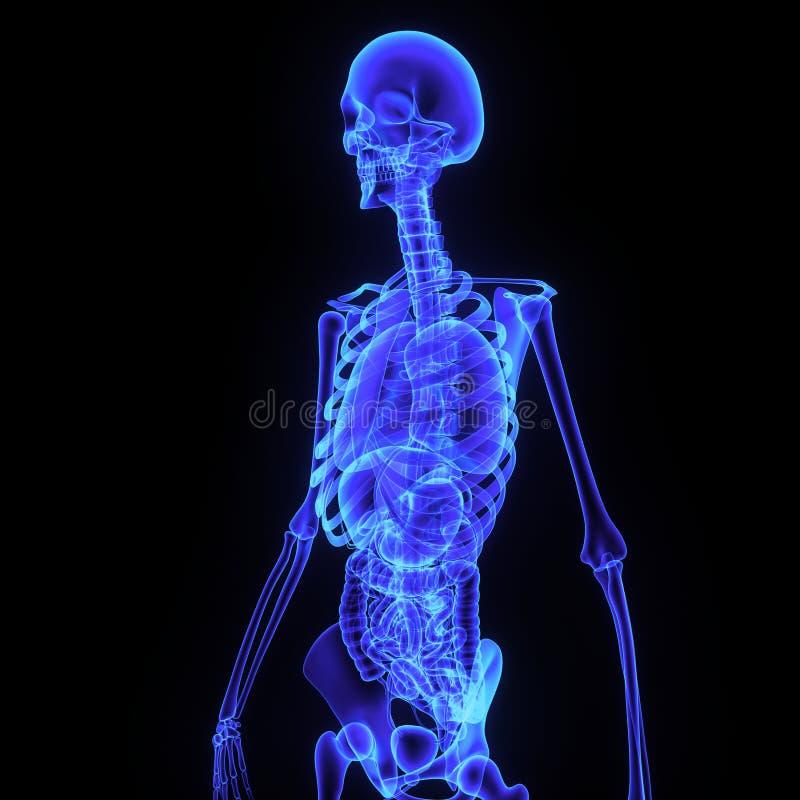 Esqueleto con el lado del sistema digestivo foto de archivo libre de regalías