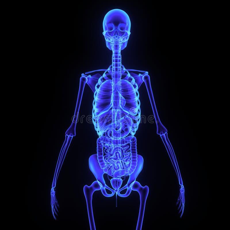 Esqueleto con el sistema digestivo foto de archivo