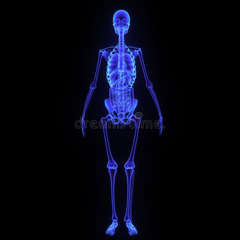 Esqueleto con el sistema digestivo foto de archivo libre de regalías