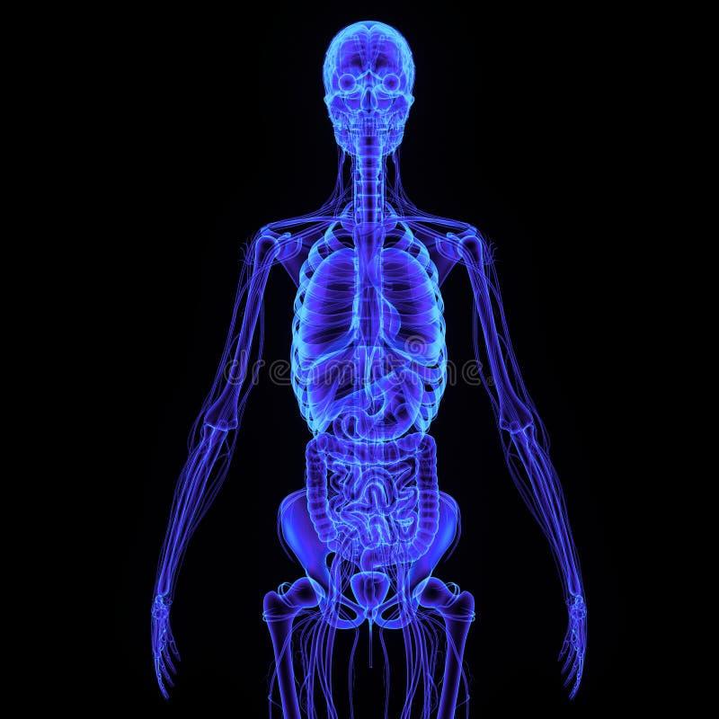 Esqueleto con el sistema digestivo imágenes de archivo libres de regalías
