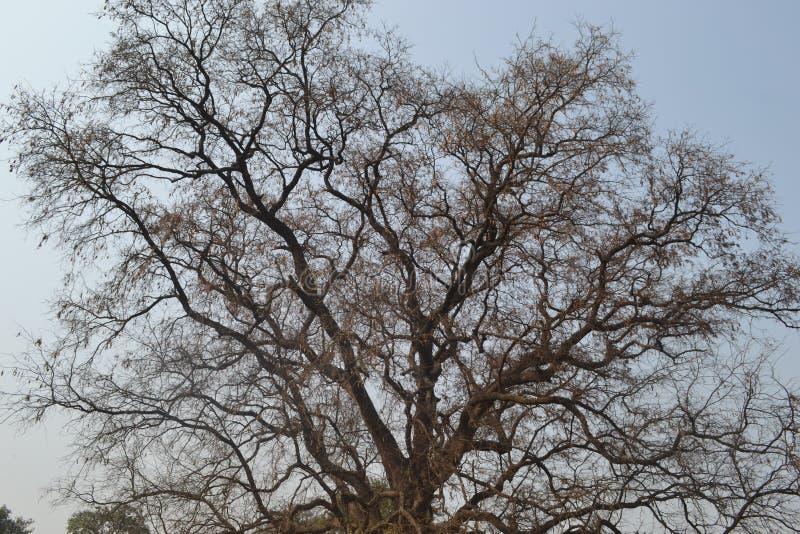 Esqueleto da árvore imagem de stock royalty free