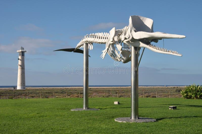 Esqueleto da baleia fotos de stock