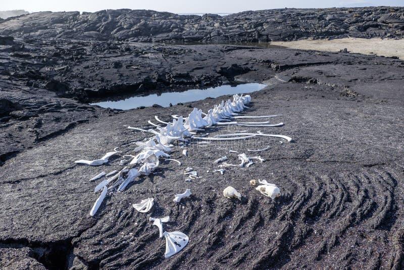 Esqueleto da baleia de Galápagos imagens de stock royalty free