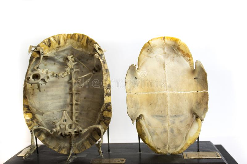 Esqueleto da tartaruga preservado foto de stock