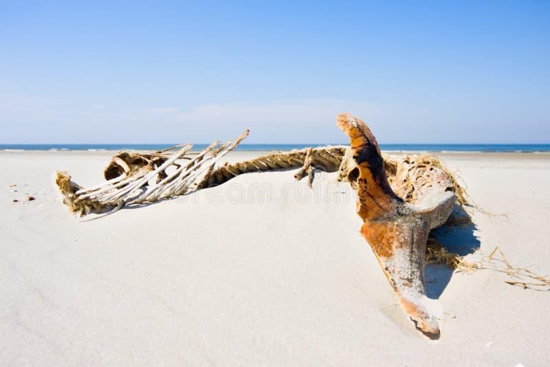 Esqueleto da toninha de porto fotografia de stock