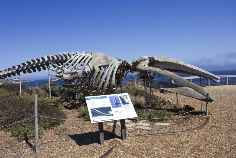 Esqueleto de Gray Whale no litoral de Califórnia foto de stock