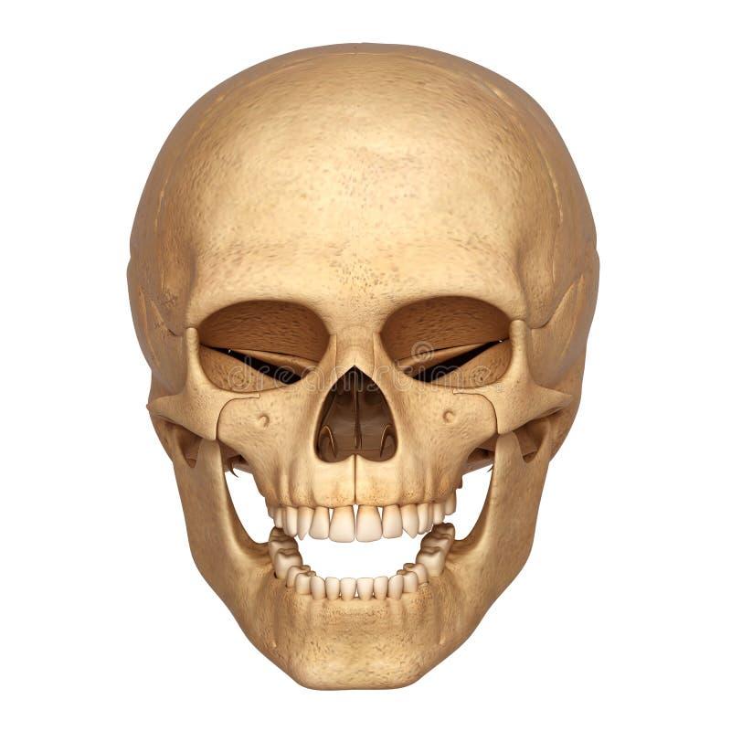 Esqueleto De La Cabeza Humana Stock de ilustración - Ilustración de ...