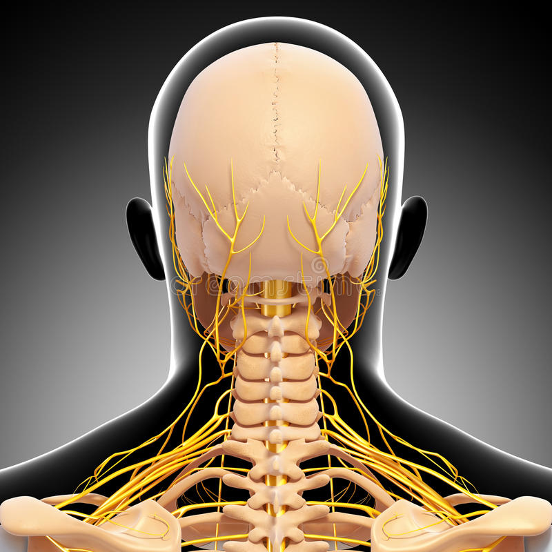 Esqueleto de la cabeza humana y sistema nervioso stock de ilustración