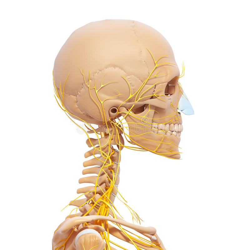Esqueleto De La Cabeza Humana Y Sistema Nervioso Stock de ...