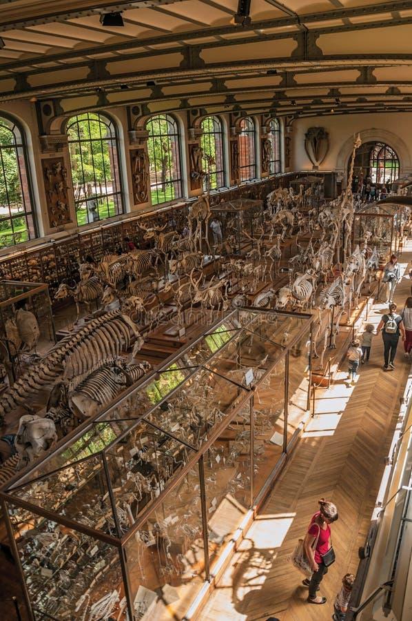 Esqueleto de la espina dorsal de mamíferos marinos en la galería de la paleontología y de la anatomía comparativa en París imágenes de archivo libres de regalías